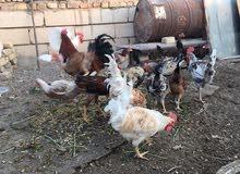 ديوك دجاج عرب
