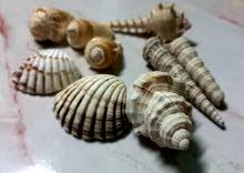 فرش وأصداف لتزين الحوض  Shells to decorate the aquarium