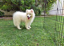 Adorable Samoyed, Poodle, Golden, Beagle and Maltese Available