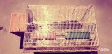 كوبية بركاديلو روز للبيع