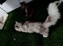 للبيع عدد ثلاث قطط