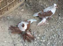 زوج سكسوني الاصلي طيور بيت ملقحات فول معجونيات السعر 75 الف او للمراوس