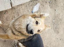 كلب جيرمن شيبرد عمر 9،شهور عرررطه غير قابل للتفاوض التواصل 774028089