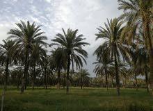 مزرعه 21452 متر للبيع في صحار مجز الكبرى