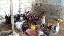 دجاج  عربي يدحي مشاء الله