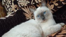 قطة سيامية أنثى ذكية و هادئة نظيفة ماشاء الله