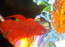 سمكة فايتر