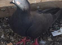 طيور كويتي + بكستاني للبيع