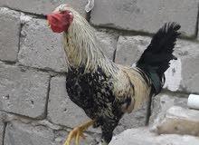 ديج ودجاجه للبيع او مراوس حسب الرقبه