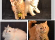 قـــطط اكزوتيك ORANG POINT SHORT HAIR EXOTIC قطط شيرازية LONG HAIR