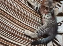 قطه شيرازي ه