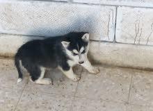 كلب هاسكي للبيع بسعر ممتاز العمر شهرين الاستفسار ابعت خاص
