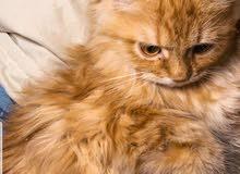 قطط شيرازي اصلي عمرها 5 شهور 3 ذكور و انثى وحدة