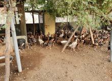 دجاج باكستاني للبيع بحالة ممتازة