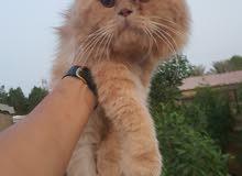 قط شيرازي منتج جرنتي للبيع