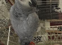 african gray for sale healthy active