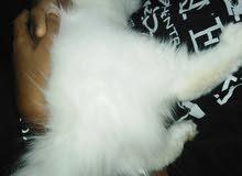 القطه انثى عمرها 3 شهور تقريبا لعوبه جدا جدا وتسمع الكلام
