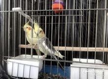 عصافير كوكتيل