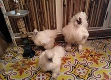 دجاج كوجن سلكي شعر