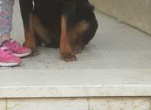 كلبه روت وايلر للبيع لعدم التفرغ