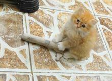 قط ( كيتن) شيرازي للبيع