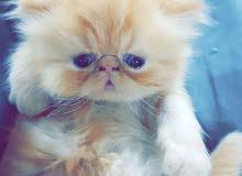 قطط للبيع المتبقي ذكر وانثى