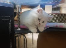 turkish angora kittens, 3 months old for sale