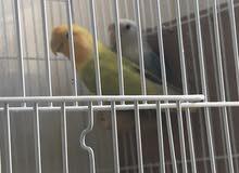 زوج طيور الحب منتج