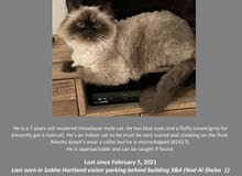 Lost Himalayan cat