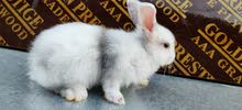 ارانب هارلكوين rabbits Harlwquin