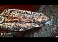جاكيت 100% جلد نمر اصلي