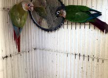 pinaple and green counur breading pair for sale