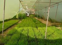 زراعة شتلات ( اطباق شتلات للبونيكام الاسباني )