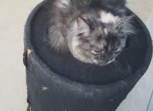 قطط شيرازي منزلي