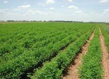 ارض مستصلحه وجاهزة للزراعة