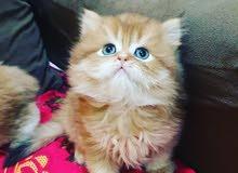 لااصحاب القطط الملكيه الراقية سكوتش قولد شانشيلا
