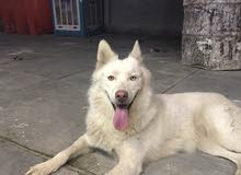 سلام عليكم كلبه هاسكي فول لونك هير نثيه واليفه فول  للبيع أو مراوس بكلب بوو
