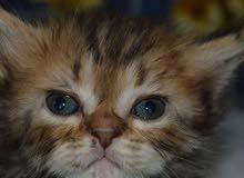قطط شيرازي موني فيس