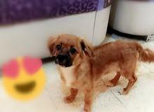 كلب لولو فوكس للبيع