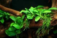 نباتات طبيعية لاحواض السمك