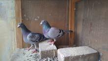 طيور زواجل