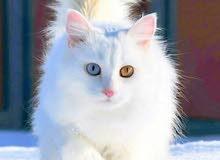 مطلوب قطط لغرض التبني والتربيه