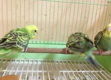 طيور حب بادجي الاحساء