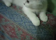 قط ولد شيرازي