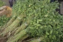 حمص اخضر مكسيكي نخب اول العروس للضمان والبيع