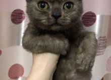 قطه انثى تركي عمر شهرين ونصف السعر 600 درهم