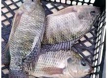 أسماك بلطي وحيد الجنس للبيع