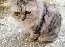قط شيرازي للبيع بسبب السفر