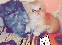 قطط شيرازية صغاااار