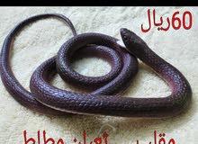 مقلب ثعبان او افعئa snake